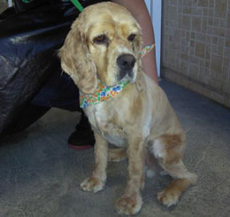 Cocker Spaniel saved from shelter