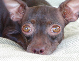 Penny, chihuahua rescued from a shelter